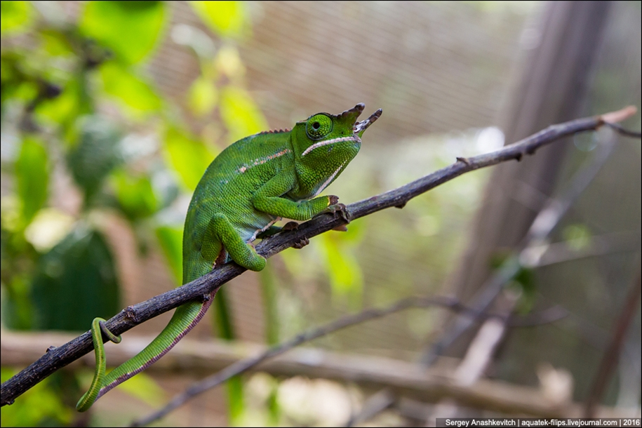 The parade of chameleons of Madagascar 13