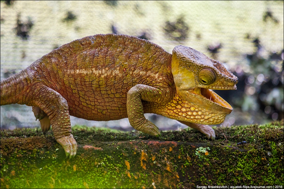 The parade of chameleons of Madagascar 15
