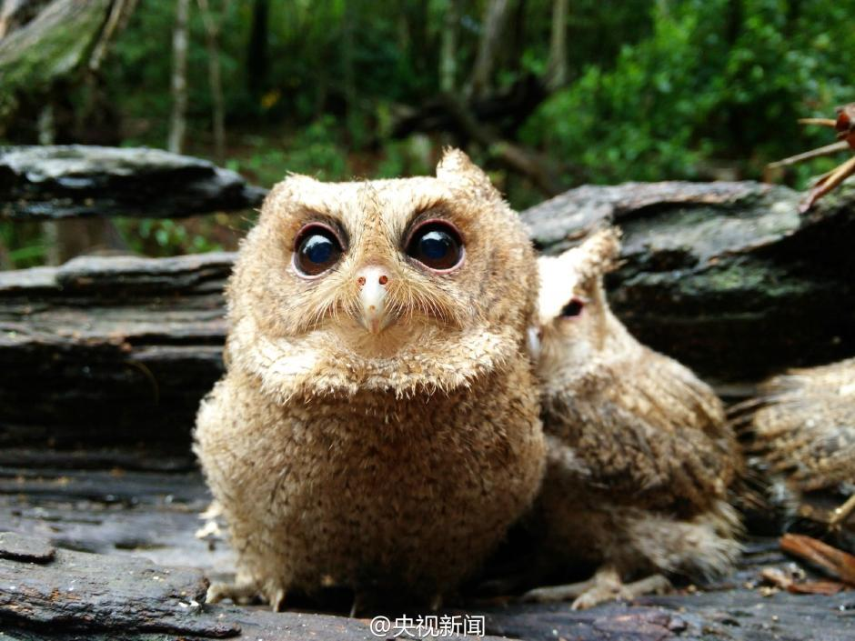 The rescued owlets, who conquered millions of Chinese 02