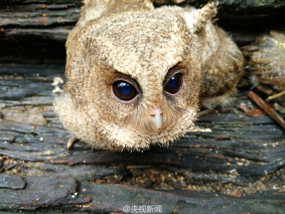 The rescued owlets, who conquered millions of Chinese 03