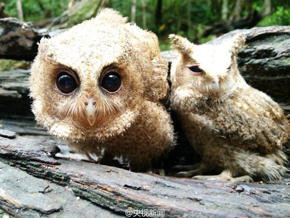 The rescued owlets, who conquered millions of Chinese 05