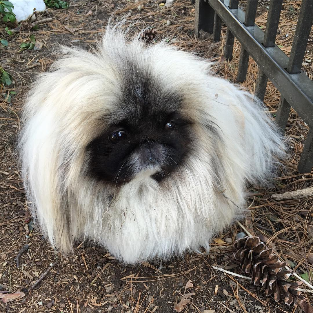 Charming long-haired Pekingese named Wonton Soup 02
