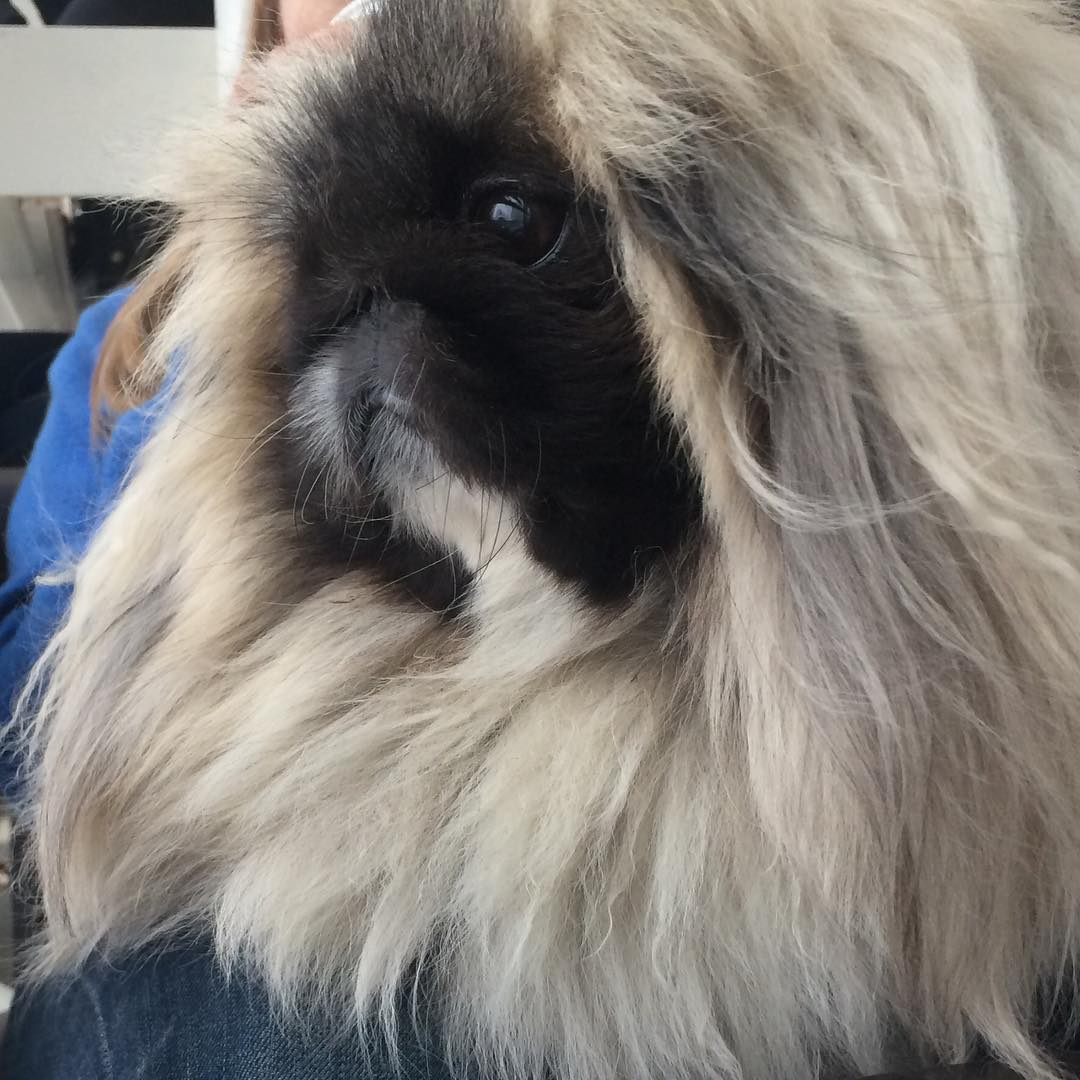 Charming long-haired Pekingese named Wonton Soup 05