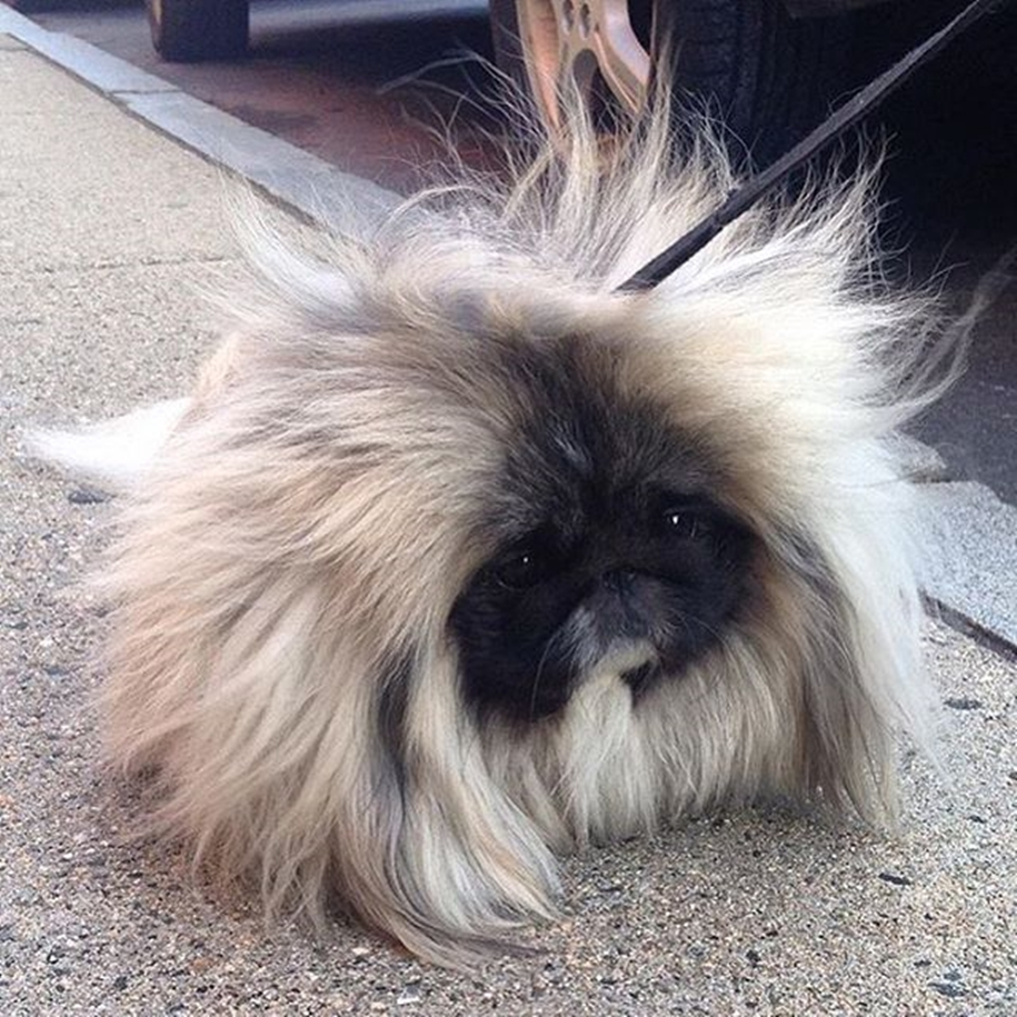 Charming long-haired Pekingese named Wonton Soup 06