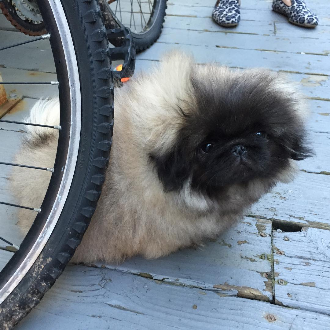 Charming long-haired Pekingese named Wonton Soup 07
