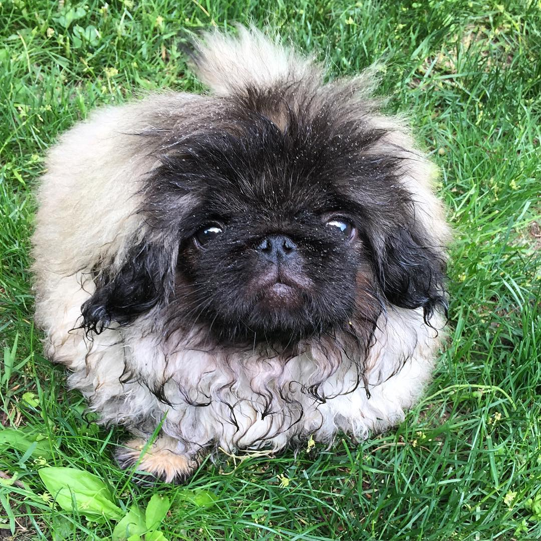 Charming long-haired Pekingese named Wonton Soup 09