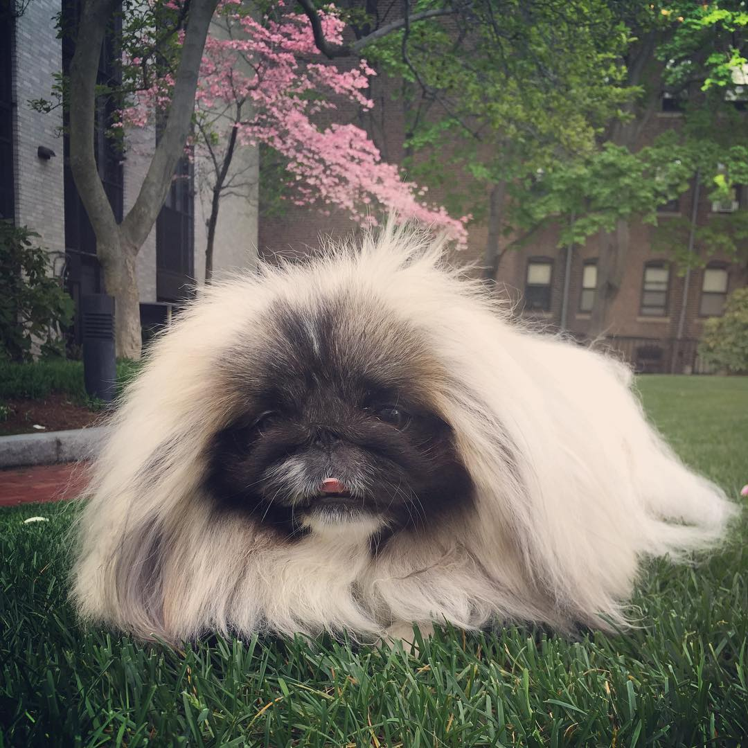 Charming long-haired Pekingese named Wonton Soup 10