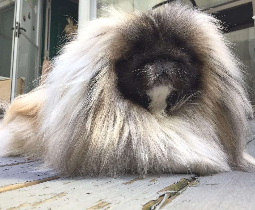 Charming long-haired Pekingese named Wonton Soup 12