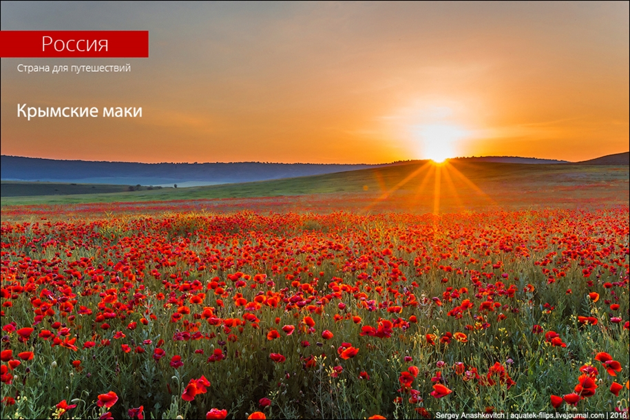 Crimean poppies 01