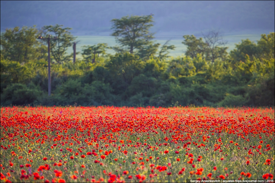 Crimean poppies 02