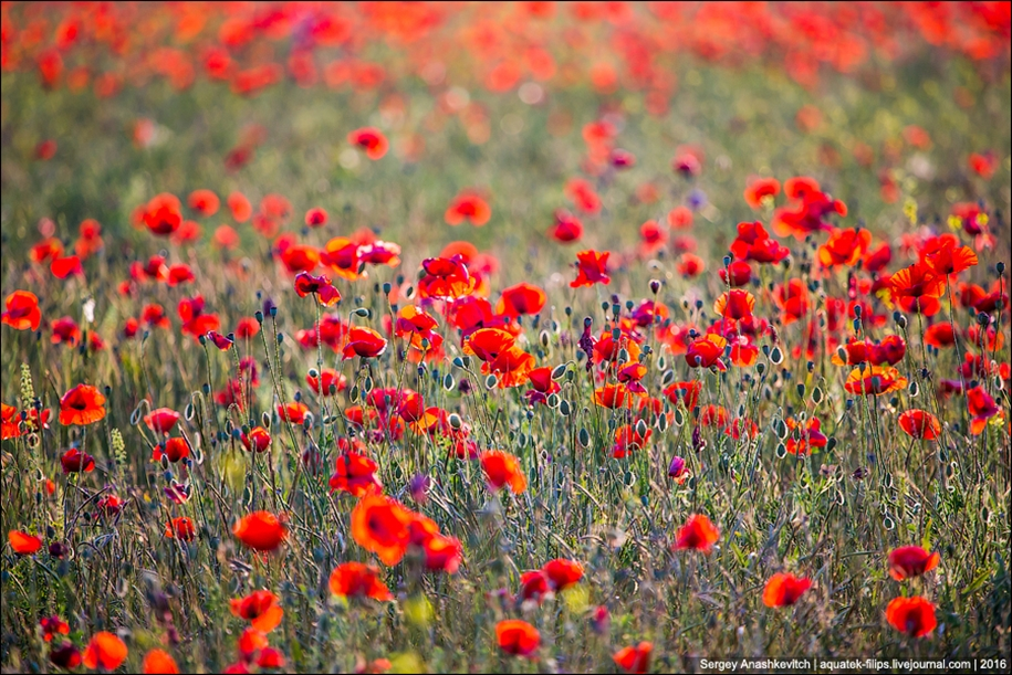 Crimean poppies 03