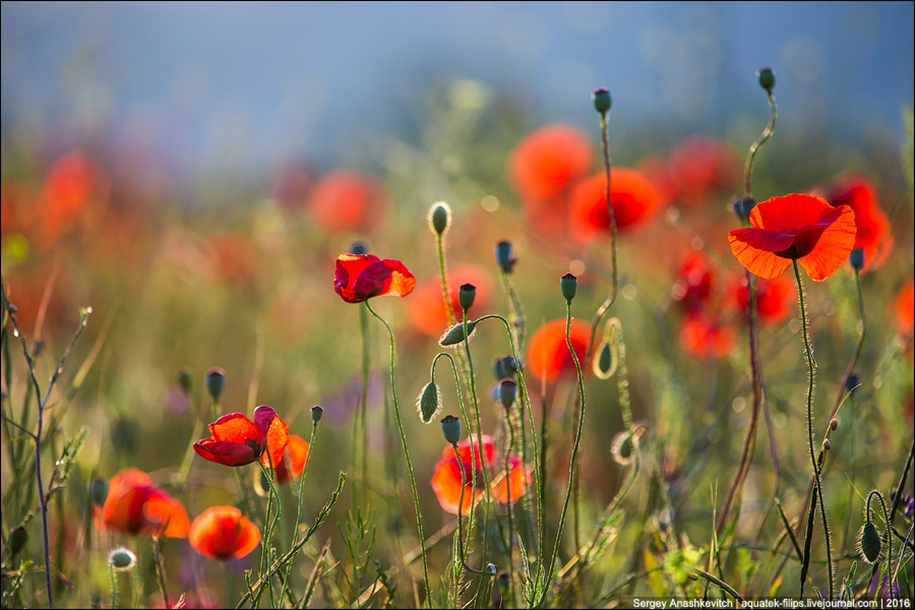 Crimean poppies 04