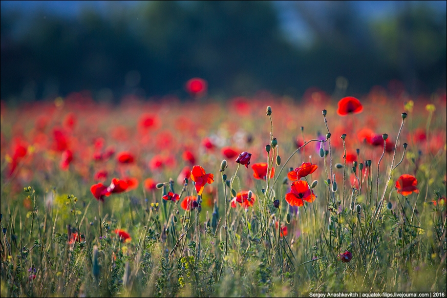 Crimean poppies 05