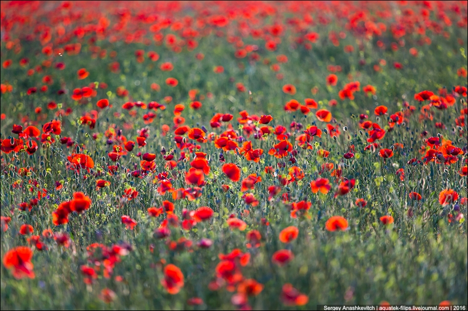 Crimean poppies 06