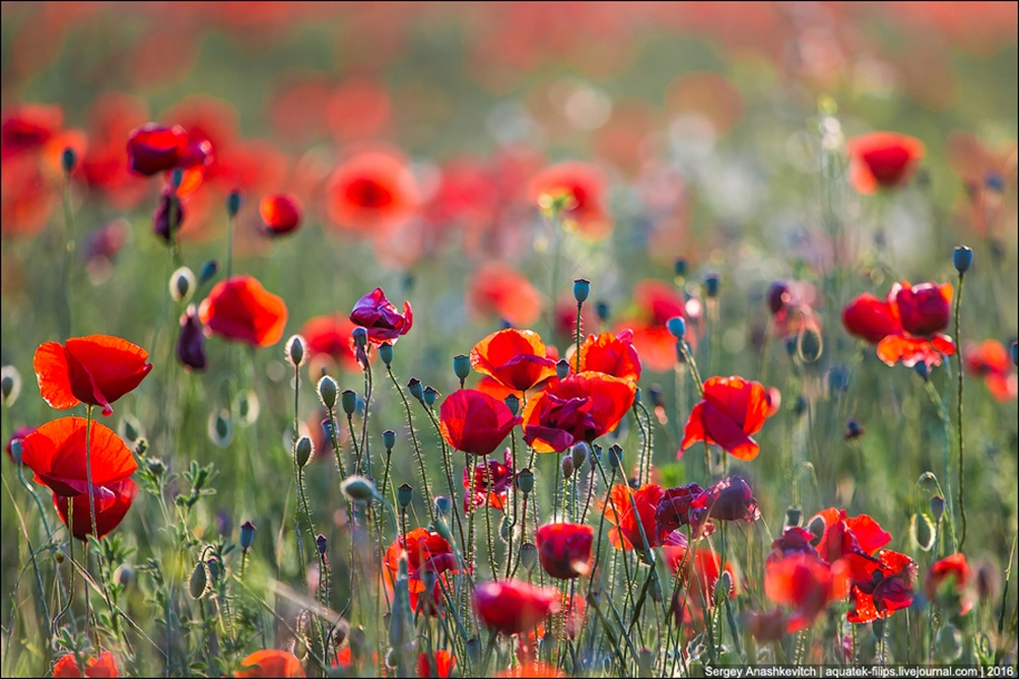 Crimean poppies 07