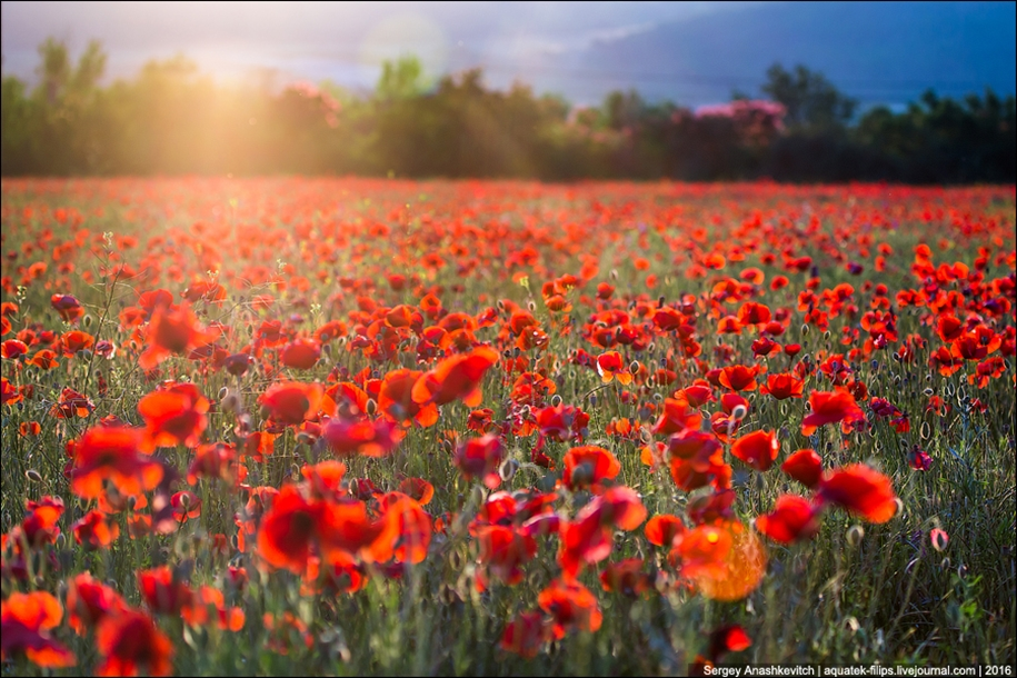 Crimean poppies 08