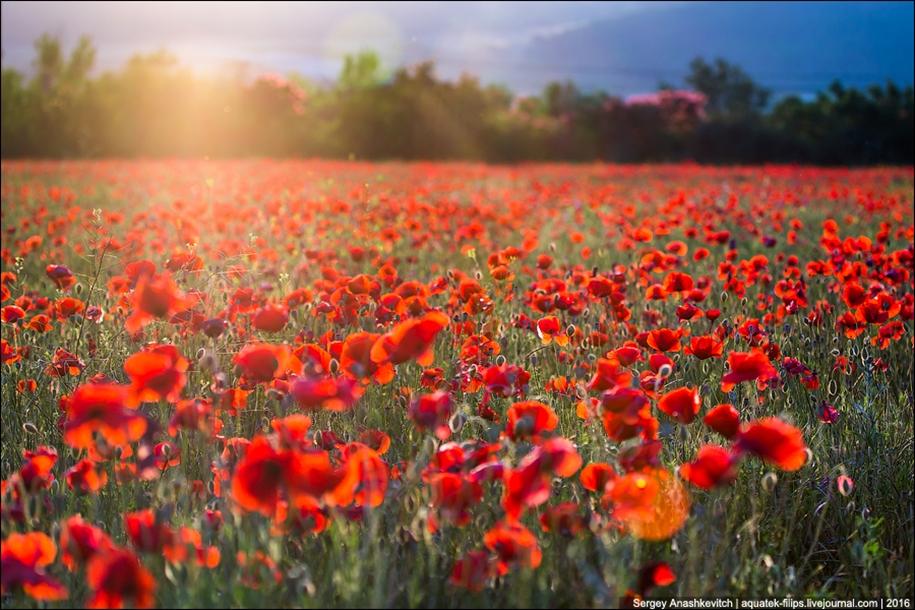 Crimean poppies 08