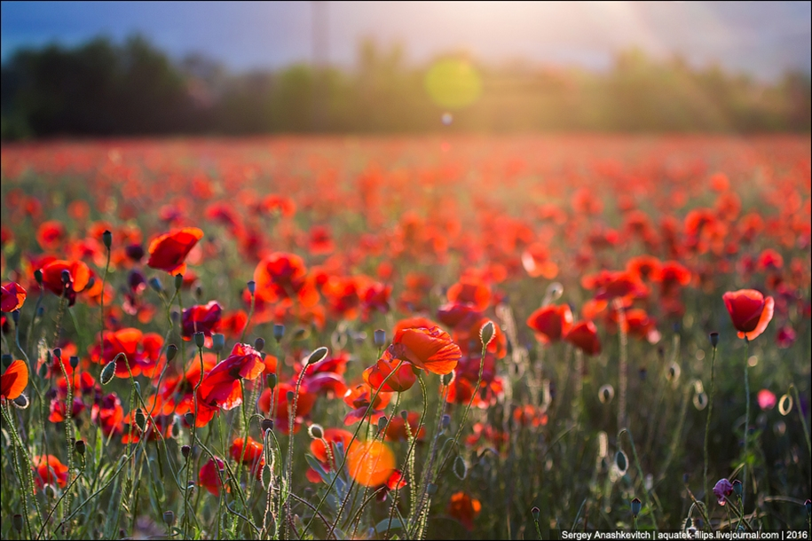 Crimean poppies 09