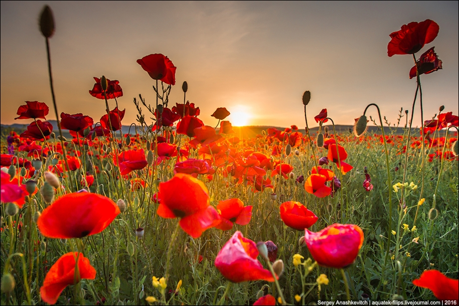 Crimean poppies 11