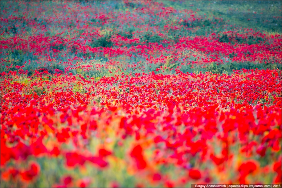 Crimean poppies 12