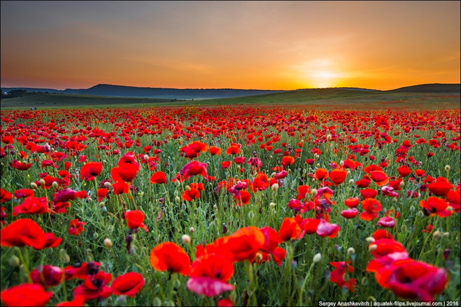 Crimean poppies 14