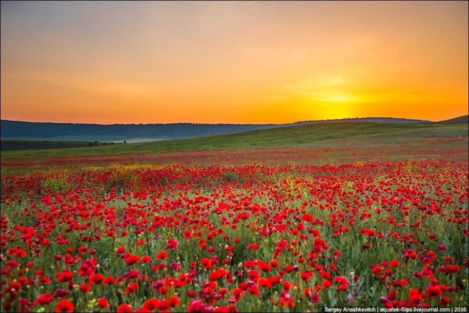 Crimean poppies 15