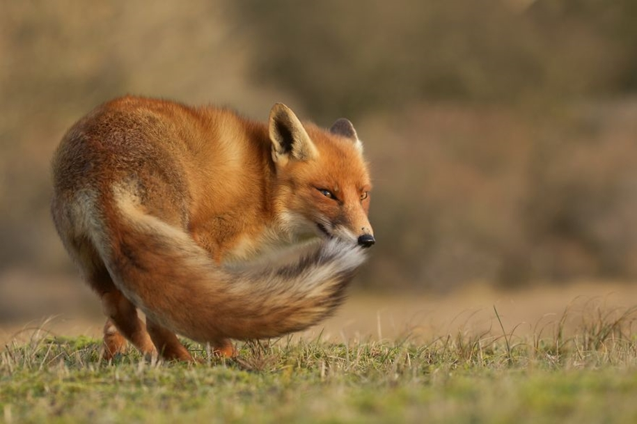 Foxes living in the dunes on the coast of the Netherlands 02