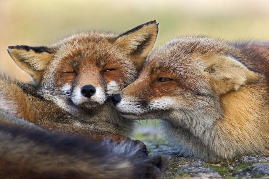 Foxes living in the dunes on the coast of the Netherlands 03