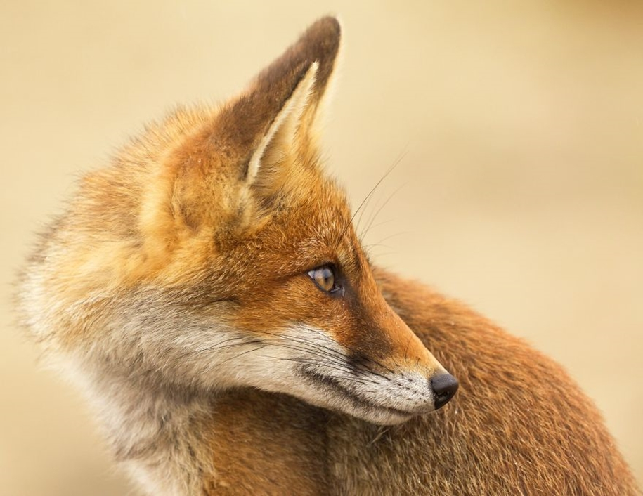 Foxes living in the dunes on the coast of the Netherlands 04