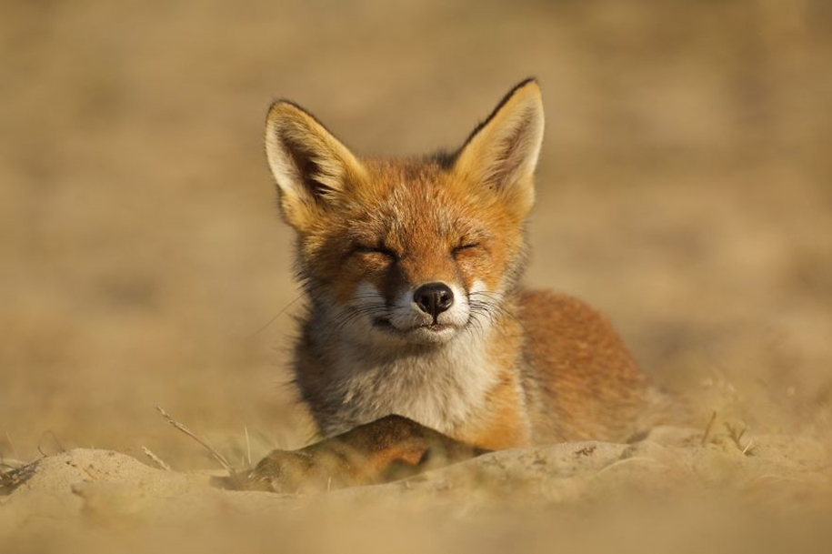 Foxes living in the dunes on the coast of the Netherlands 08
