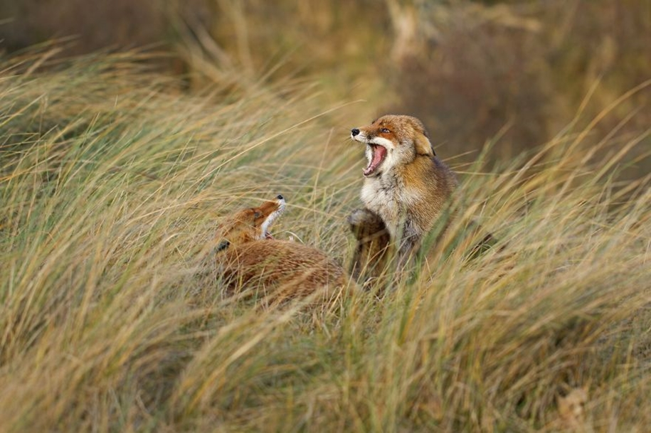 Foxes living in the dunes on the coast of the Netherlands 13