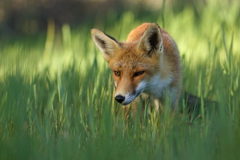 Foxes living in the dunes on the coast of the Netherlands 14