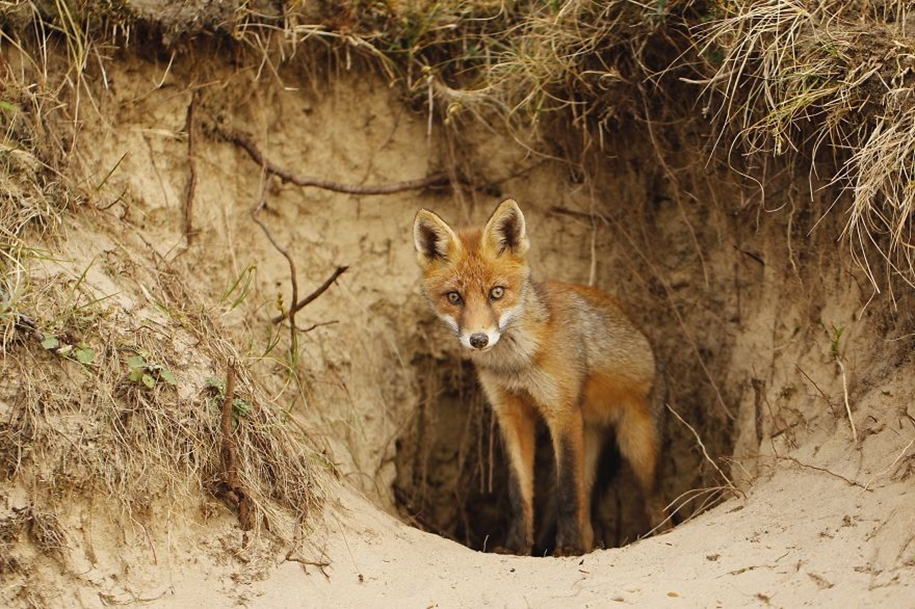Foxes living in the dunes on the coast of the Netherlands 19