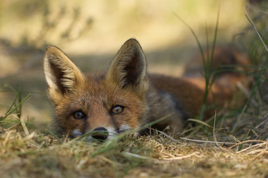 Foxes living in the dunes on the coast of the Netherlands 22