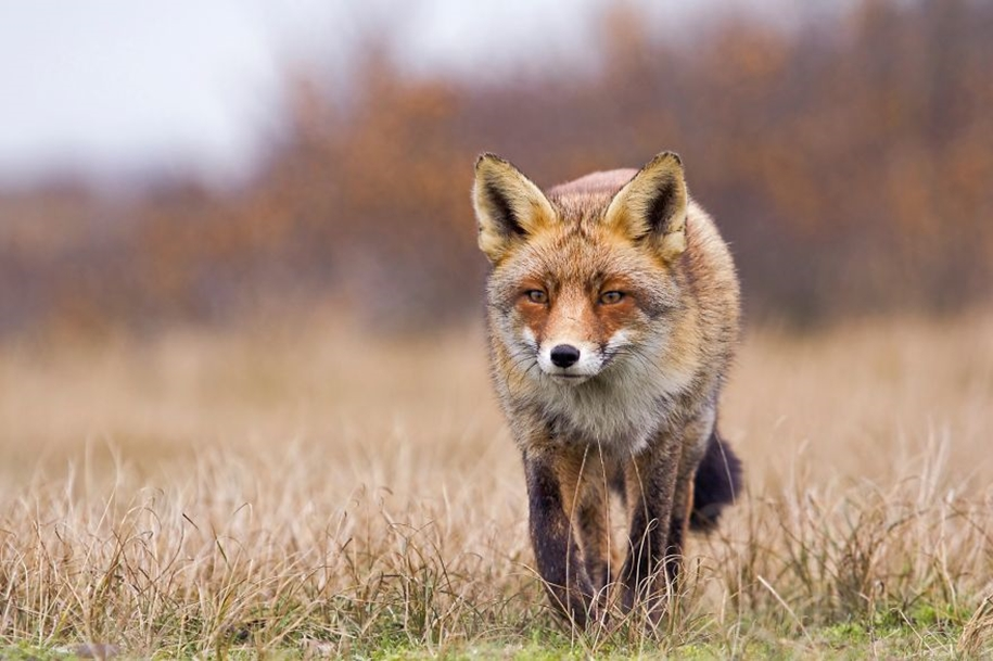 Foxes living in the dunes on the coast of the Netherlands 23