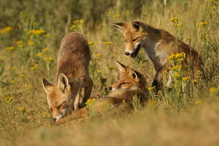 Foxes living in the dunes on the coast of the Netherlands 25