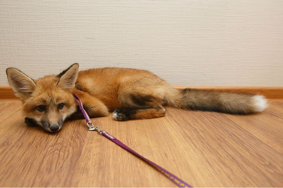 В Санкт-Петербурге девушка выкупила лисенка со зверофермы, чтобы спасти ему жизнь