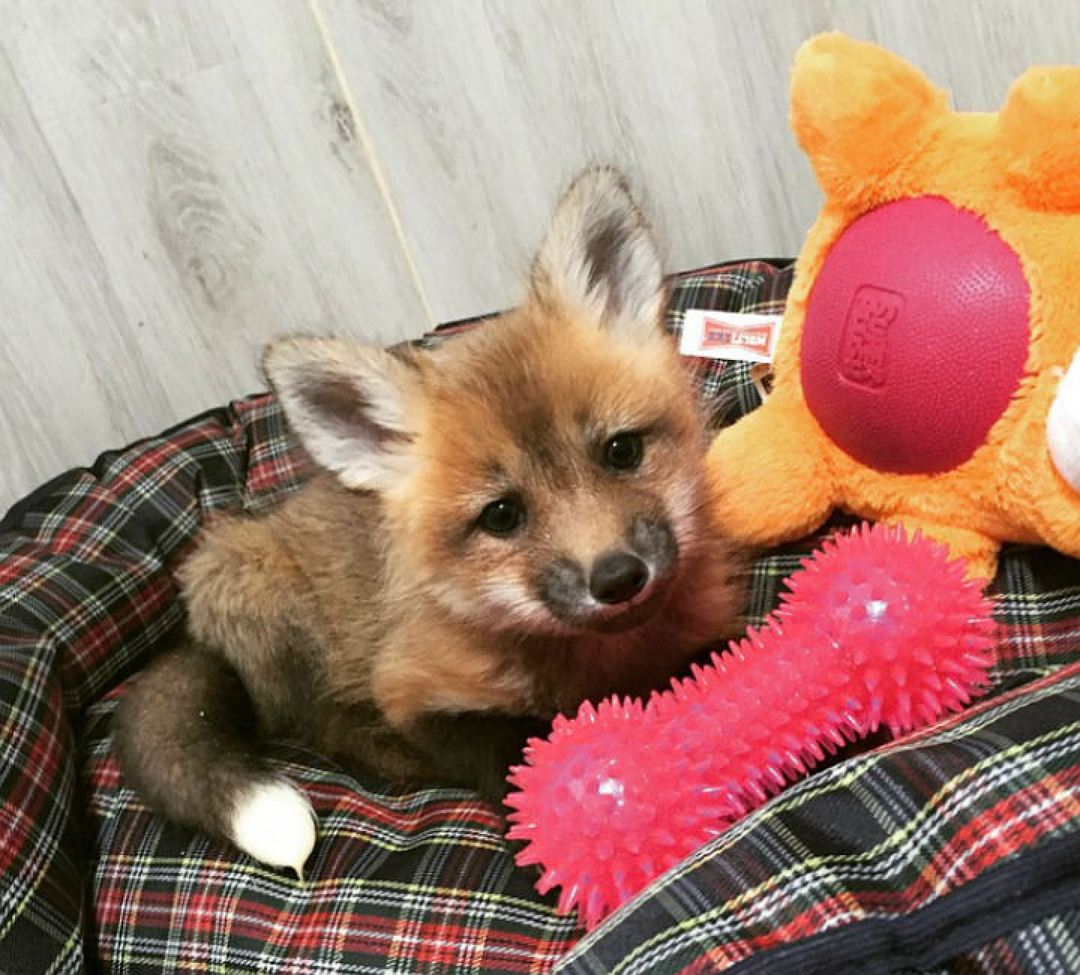 In St. Petersburg the girl bought the Fox from fur farms in order to save his life 02