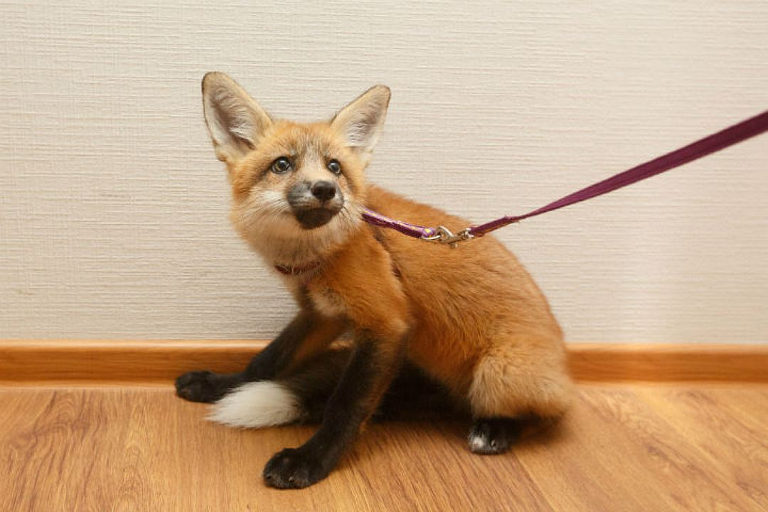 In St. Petersburg the girl bought the Fox from fur farms in order to save his life 04