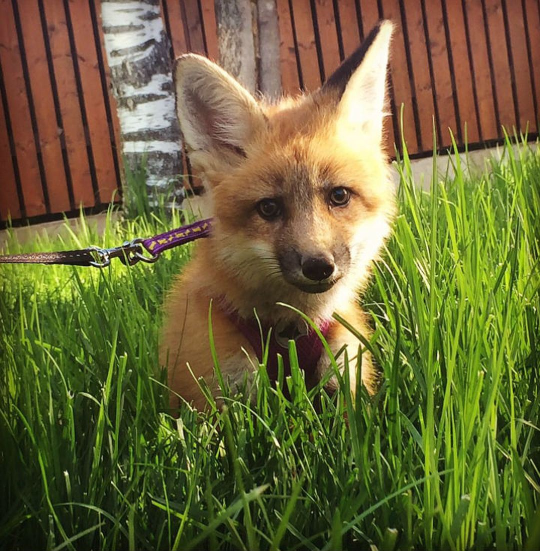 In St. Petersburg the girl bought the Fox from fur farms in order to save his life 07