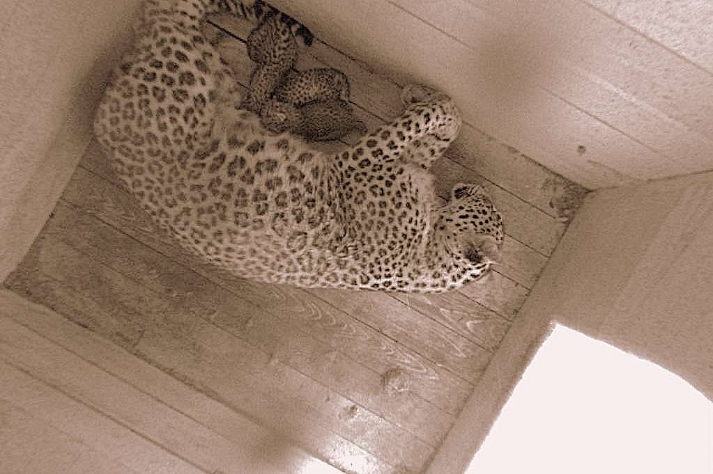 In day of Russia in the Sochi zoo had three baby rare leopard 01