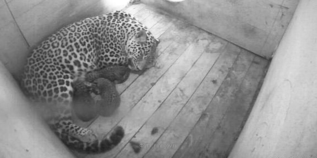 In day of Russia in the Sochi zoo had three baby rare leopard 02