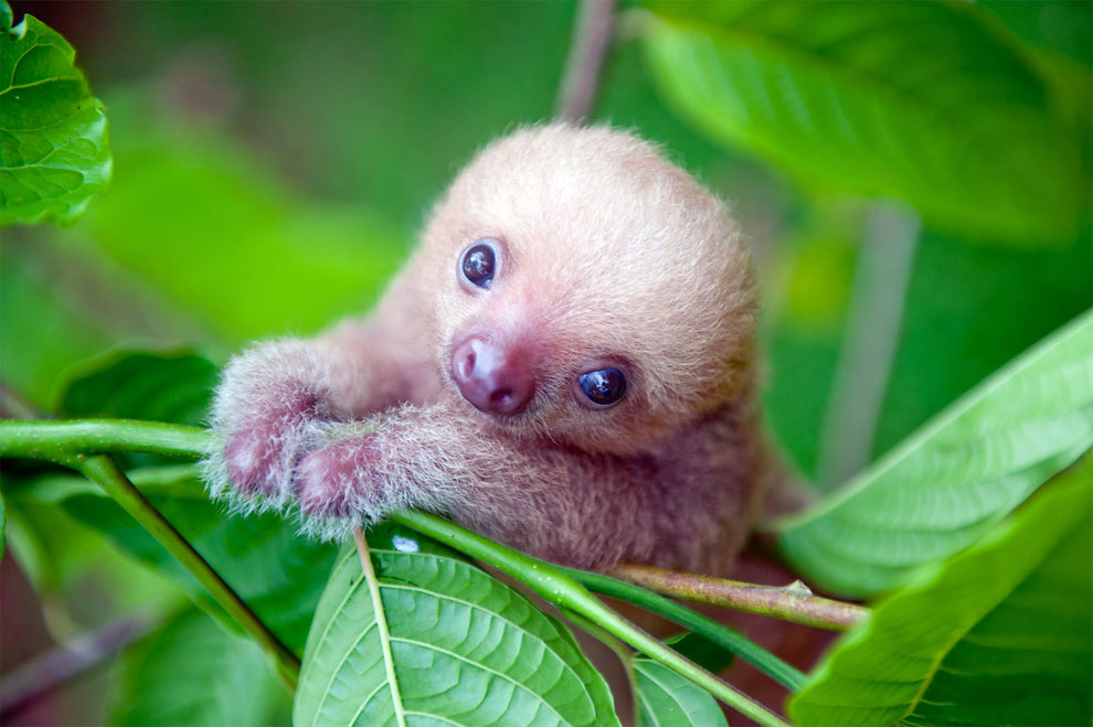 Institute helping sloths in Costa Rica 00