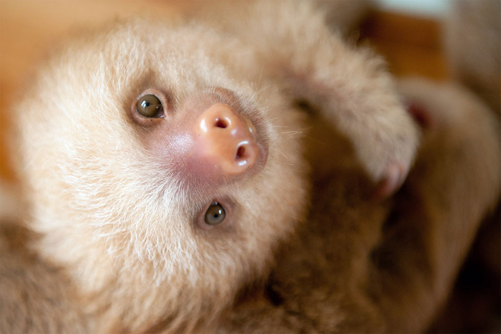 Institute helping sloths in Costa Rica 15