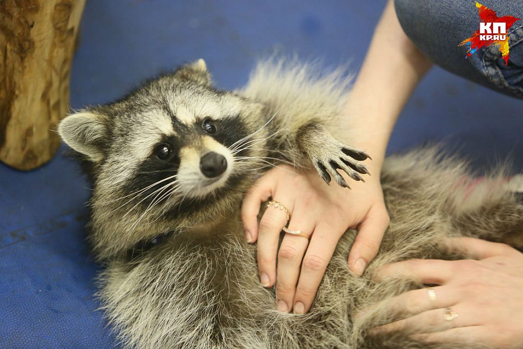 Some cute pictures from the festival raccoons in Saint Petersburg 01