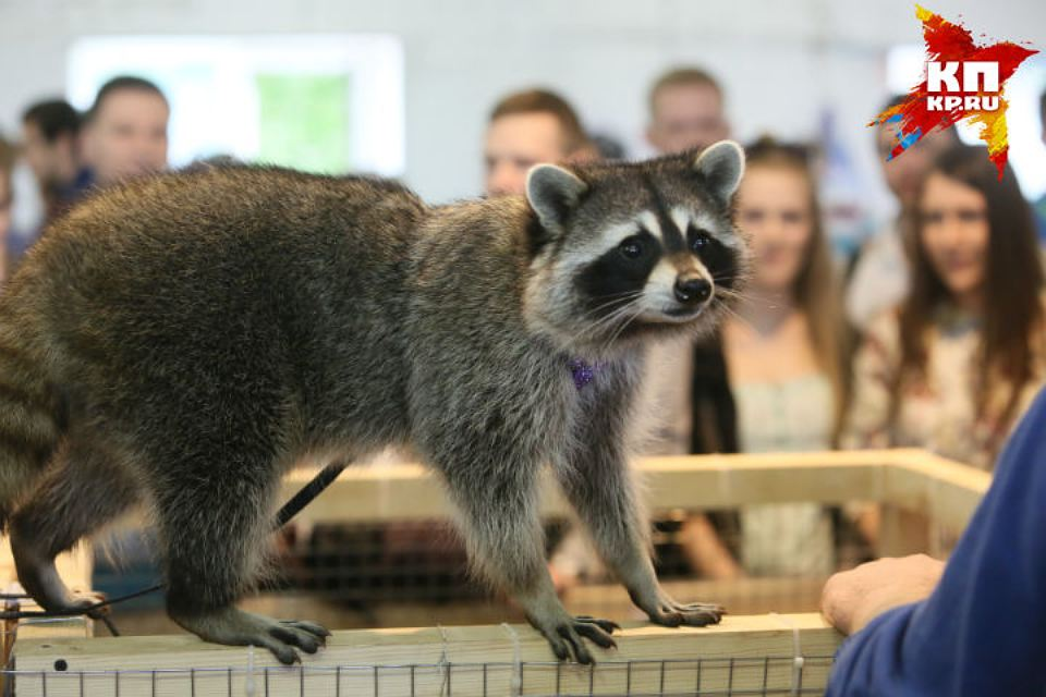 Some cute pictures from the festival raccoons in Saint Petersburg 02