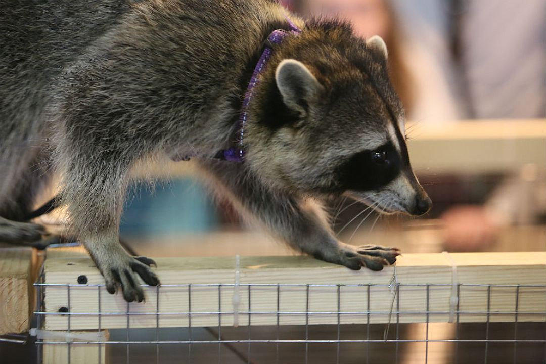 Some cute pictures from the festival raccoons in Saint Petersburg 05