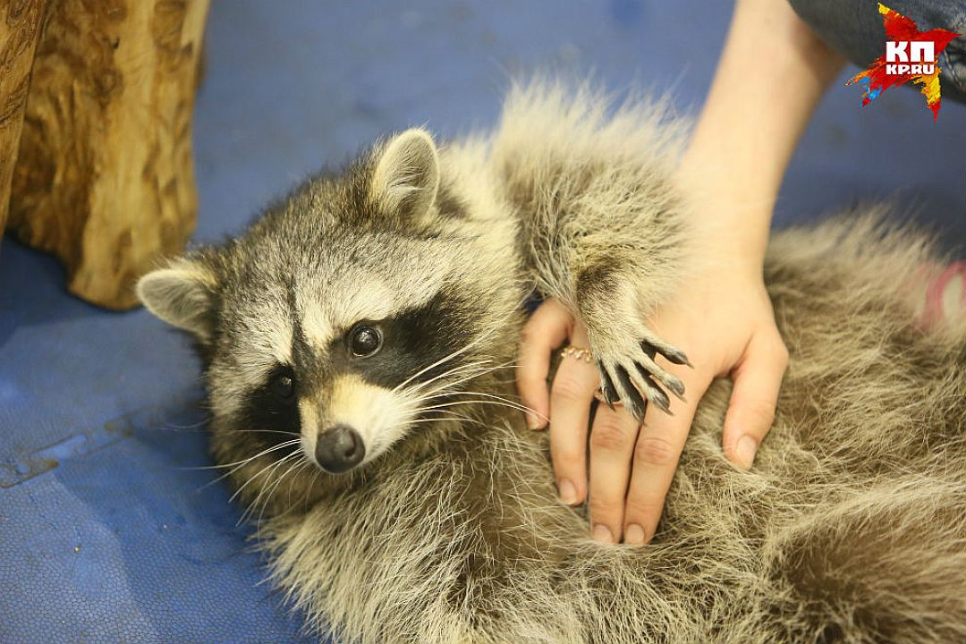 Some cute pictures from the festival raccoons in Saint Petersburg 06