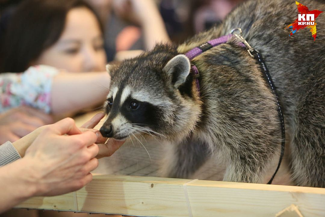 Some cute pictures from the festival raccoons in Saint Petersburg 07