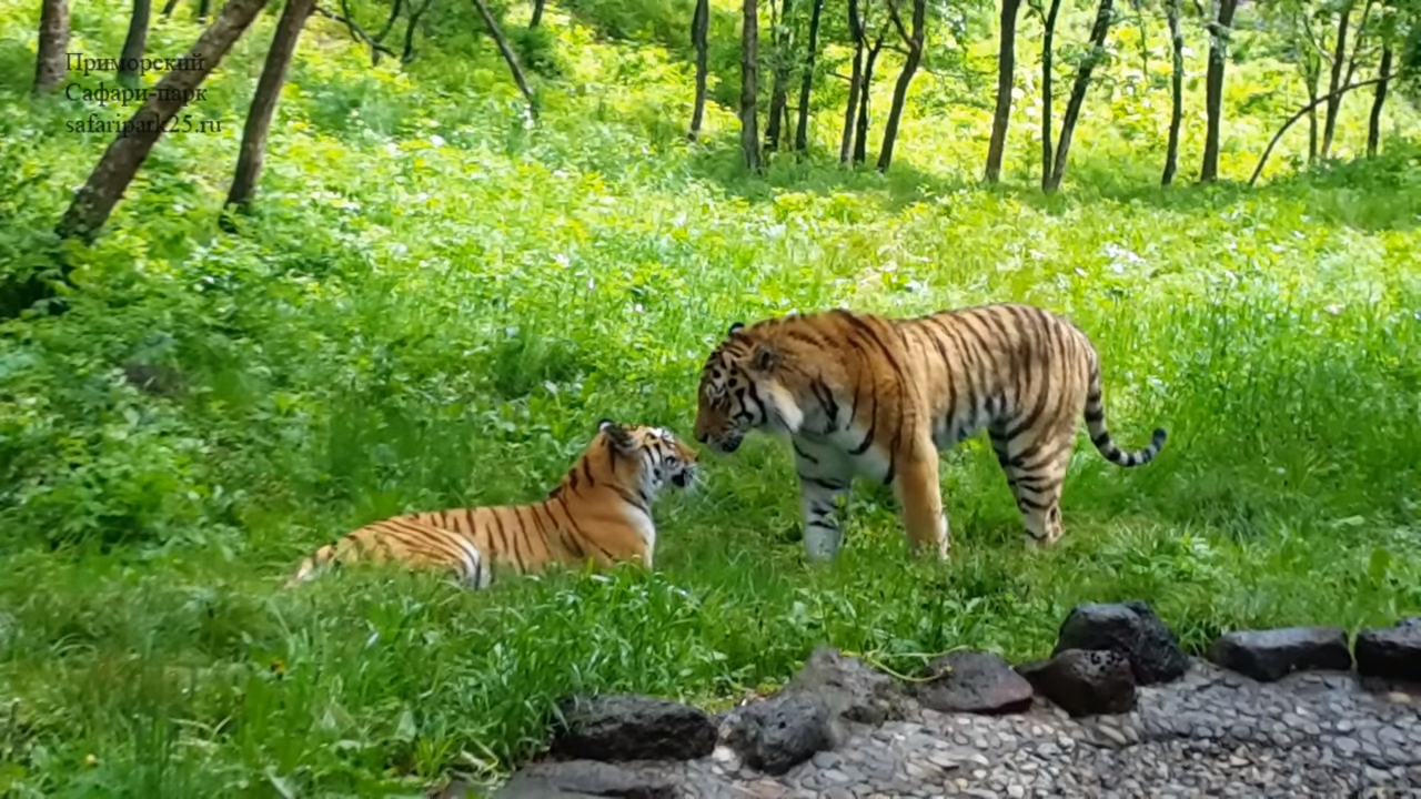 The Amur tiger -married- with a young tigress Ussuri